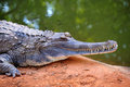 Gavial close up of in thailand Stock Image