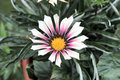 Gazania. Royalty Free Stock Photos