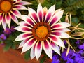 Flowers Gazania colorful close-up blurred background