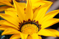 Gazania flower with bright yellow petals and attractive brown markings Royalty Free Stock Photos