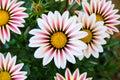 Gazania Flower field Gazania rigens macro shot Royalty Free Stock Photo