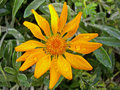 Gazania flower top closeup view of an orange rigens with drops of water Royalty Free Stock Image