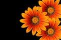 Gazania flowers Royalty Free Stock Photo