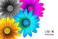 Gazania flowers CMYK Royalty Free Stock Photo