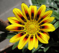 Gazania rigens, family Asteraceae. Royalty Free Stock Photo