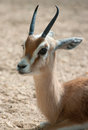 Gazella dorcas neglecta Royalty Free Stock Photo