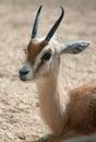 Gazella dorcas neglecta Royalty Free Stock Photo