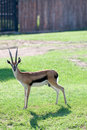 Gazelle Royalty Free Stock Image