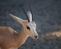 Gazelle arabian wildlife in natural habitat uae Royalty Free Stock Photography