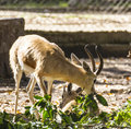 Gazelle family in a zoo in jijel algeria Stock Photos