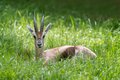 Gazelle in the grass speke s gazella spekei laying green Royalty Free Stock Photos