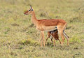 Gazelle impala afrikanskfy grant s in their natural habitat kenya Royalty Free Stock Photography