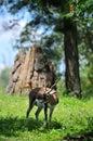 Gazelle in its Habitat Stock Images