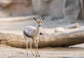 Gazelle one is looking for food Stock Image