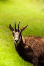 Gazelle in the pasture close up view of on a green alpine meadow chamonix Stock Image