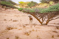 Gazelle seeking shelter underneath an Acacia Tree Royalty Free Stock Photo