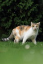Gazing cat the tricolored in the grass Stock Images
