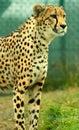 Gazing cheetah Royalty Free Stock Photo