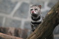 Gazing civet Stock Photos
