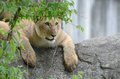 Gazing lion cub2 Royalty Free Stock Images