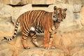 Gazing tiger Royalty Free Stock Photo
