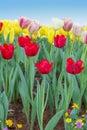 Gebied van tulip flowers against blue sky Stock Afbeelding