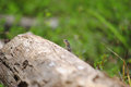 Gecko Behind Log Royalty Free Stock Photo