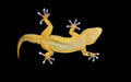 Gecko on black background with sticky fingers Stock Image