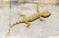 Gecko cling to the wall Royalty Free Stock Image