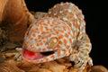 Gecko de Tokay (gecko de Gecko) Photographie stock