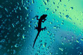 Gecko on glass window wet with rain drops macro closeup of a geko resting a indoors while raining outside the is Royalty Free Stock Image