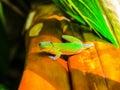 Gecko In Hawaii