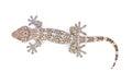 Gecko isolated on white background Royalty Free Stock Photo