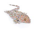 Gecko isolated on white background Royalty Free Stock Photo