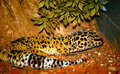 Gecko leopard Royalty Free Stock Photo