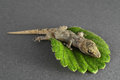 Gecko lizard and leaf one small green on a colored background Stock Photos