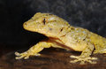 Gecko portrait of on dark background Stock Images