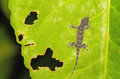 Gecko Xylotrupes Gideon lonely on green leaf with holes, eaten by pests Royalty Free Stock Photo