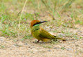 Geen bee eater merops orientalis beautiful in thailand Royalty Free Stock Photos