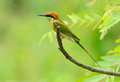 Geen bee eater merops orientalis beautiful in thailand Royalty Free Stock Photo