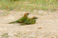 Geen bee eater merops orientalis beautiful in thailand Stock Image