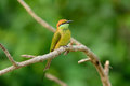 Geen bee eater merops orientalis beautiful in thailand Stock Images
