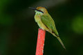 Geen bee eater merops orientalis beautiful in thailand Royalty Free Stock Images