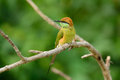 Geen bee eater merops orientalis beautiful in thailand Royalty Free Stock Photography