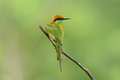 Geen bee eater merops orientalis beautiful in thailand Stock Photo