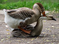 Geese in the act of mating Royalty Free Stock Photo