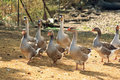 Geese in a barnyard Royalty Free Stock Photography