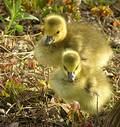 Geese Chicks Royalty Free Stock Photo