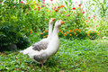 Geese couple Royalty Free Stock Photo