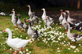 Geese & Daisies Royalty Free Stock Photo